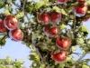 Blick in einen Apfelbaum  2016, Oel auf Leinwand, 64x50cm